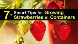 Growing Strawberries in Containers titleimg1