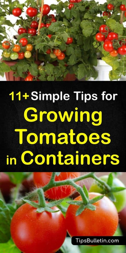 Become a master at container gardening after reading about indeterminate tomatoes, their root system, and choosing organic fertilizer for a bountiful growing season. These tips help you make tomato cages and prevent blossom end rot for perfectly ripe tomatoes. #growing #tomatoes #containers