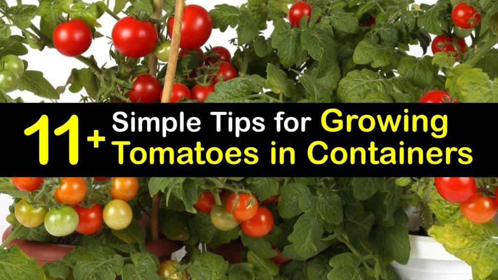 Growing Tomatoes in Containers titleimg1