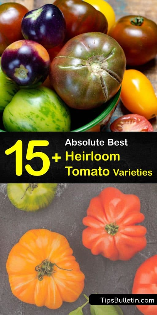 Discover the best heirloom tomato varieties to grow in your garden this year. Growers love meaty varieties like Cherokee Purple and Black Krim, and sweet Sungold cherry tomatoes. Try unique tomato plants like Green Zebra or Aunt Ruby's German Green. #heirloom #tomato #plants