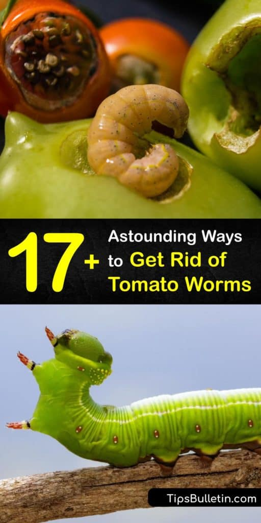 Find out how to repel and get rid of tomato hornworms without pesticides or an insecticide. A hornworm infestation starts when hawk moths lay eggs near tomatoes. Planting marigolds invites natural predators like lacewings and ladybugs to consume hornworm larvae. #howto #getridof #tomato #worms
