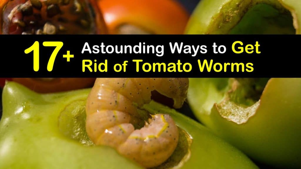 How to Get Rid of Tomato Worms titleimg1