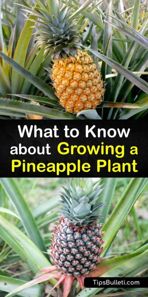 Did you know that you can grow fresh pineapple fruit from the grocery store as houseplants? It's super easy, even if you live somewhere colder than Florida. Find out what you need to know about growing Ananas comosus, or pineapple plants, using our best DIY tips. #howto #grow #pineapple #plant