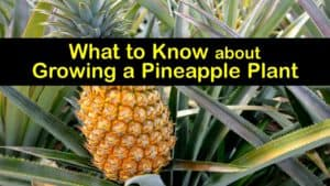 How to Grow a Pineapple Plant titleimg1