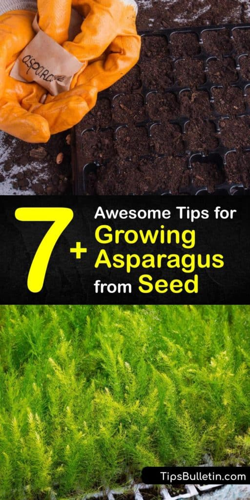 Find out how to harvest homegrown asparagus spears year after year. From the germination of asparagus seeds to harvesting your first crop of Jersey Knight asparagus, we have all the tips for success. Grow them in full sun and fertilize regularly for best results. #howto #grow #asparagus #seeds