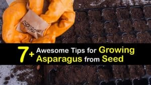 How to Grow Asparagus from Seed titleimg1