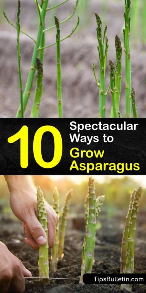 Discover how to grow your own asparagus patch to enjoy delicious asparagus spears in early spring. Start seeds indoors or plant crowns beneath seven inches of soil. Spread mulch to prevent weeds, and remove asparagus beetles by hand. #howto #grow #asparagus