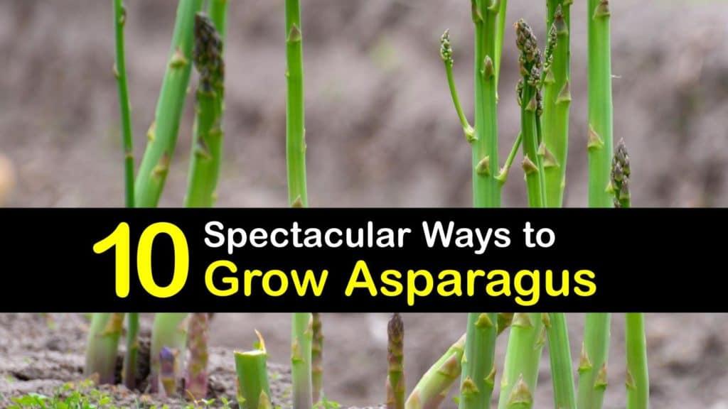 How to Grow Asparagus titleimg1