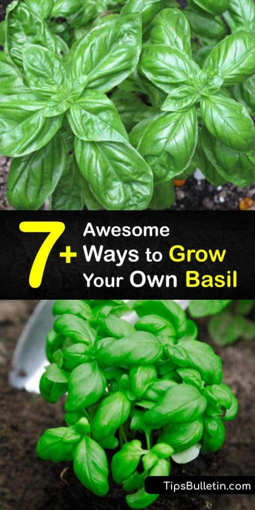 Discover how to grow basil in your own backyard with these brilliant tips and tricks that help you save money and reduce environmental waste.