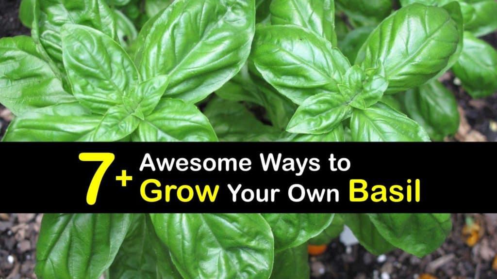 How to Grow Basil titleimg1