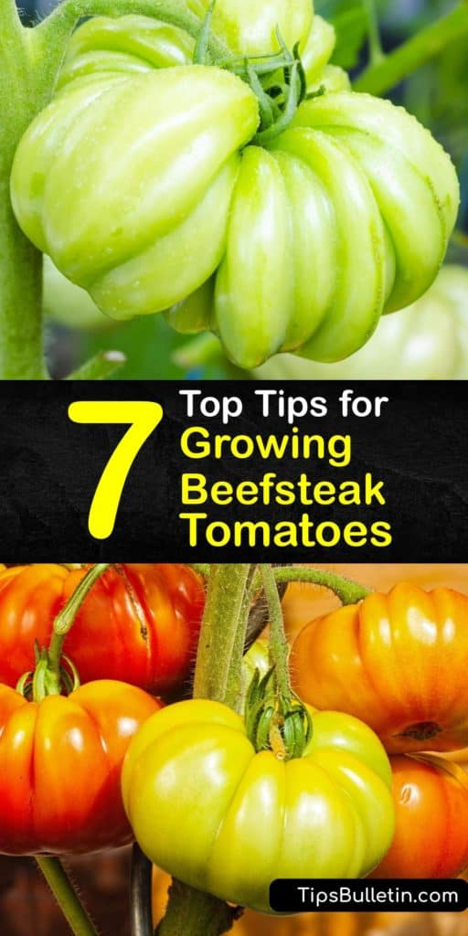 Learn how to grow beefsteak tomatoes like Big Beef. Sow seeds indoors to extend the growing season. The next step is transplanting outdoors, ensuring good air circulation. Add mulch and a fertilizer rich in potassium and phosphorus to encourage meaty fruits. #tomatoes #beefsteak #growing