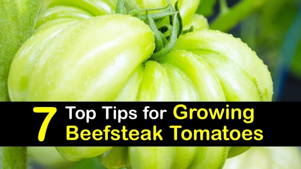 How to Grow Beefsteak Tomatoes titleimg1