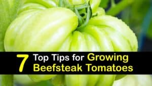 How to Grow Beefsteak Tomatoes titleimg1