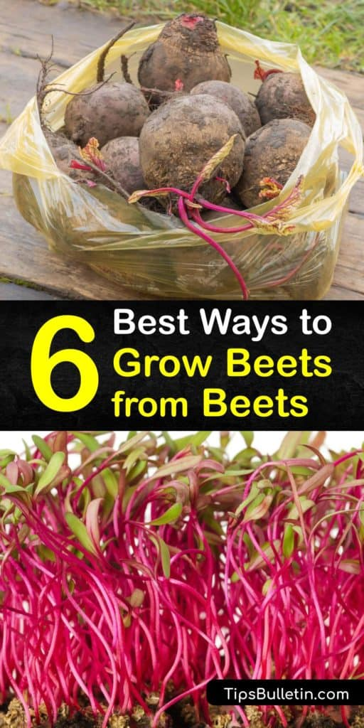 Satisfy your craving for a Chioggia beet leaf salad by using these tips to understand the germination process of root veggies, making them stronger with full sun, mulch, and a row cover, and storing them through pickling and refrigeration. #howto #grow #beets #regrow