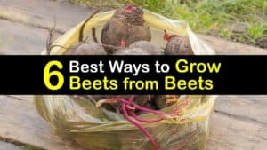 How to Grow Beets from Beets titleimg1