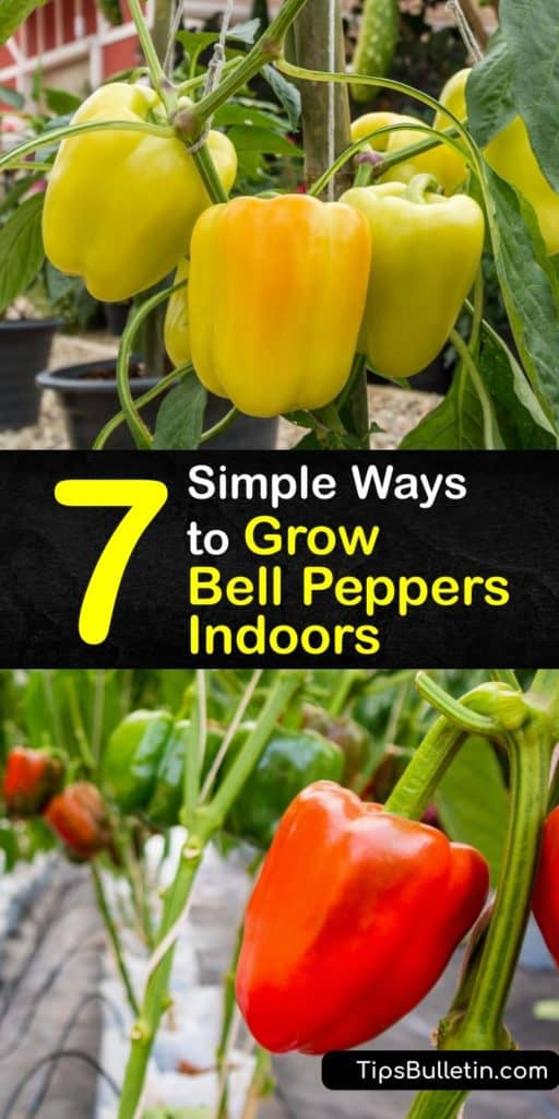 Find out how to extend the growing season for bell peppers by transplanting them from your garden into pots. Or, germinate pepper seeds using a heat mat to keep the soil temperature warm enough. Use a grow light to keep peppers fruiting all winter. #howto #grow #bell #peppers #indoors
