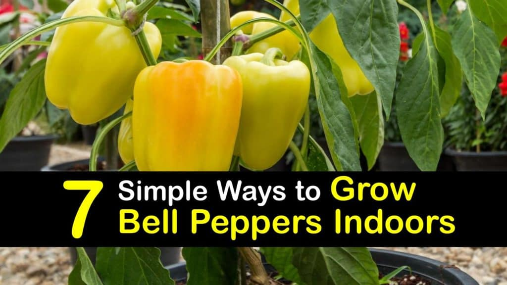 How to Grow Bell Peppers Indoors titleimg1