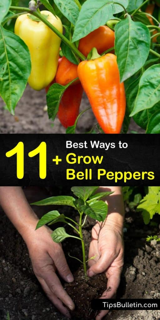 Learn the germination for bell pepper plants. All pepper varieties are vulnerable to shock from transplanting during the growing season. Blossom end rot and aphids are two hindrances to the plant. But, simple tricks like black plastic mulch and neem oil prevent them. #howto #grow #bell #peppers