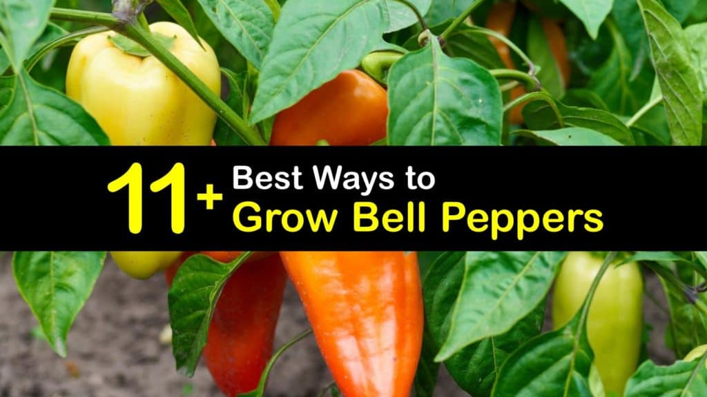 how to grow bell peppers titleimg1
