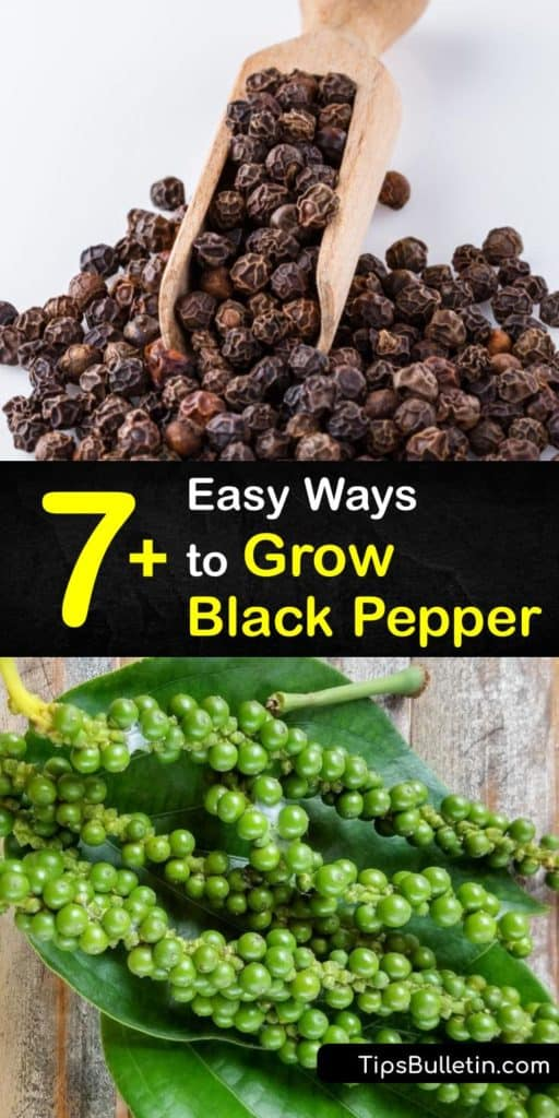 Discover how to grow black pepper plant or Piper nigrum varieties. The peppercorn plant on a trellis produces green pepper chains that develop into black peppercorns. Like houseplants, a black pepper plant is susceptible to root rot from overwatering. #howto #grow #black #pepper