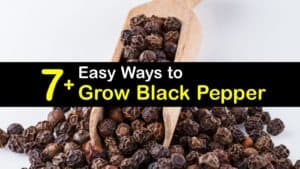 How to Grow Black Pepper titleimg1