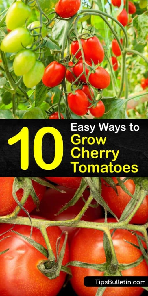 Learn how to grow-cherry-tomatoes at home in a container or garden, and ways to care for your plants for a bountiful harvest. These plants are easy to grow as long as you use rich potting soil and a tomato cage, and fertilize them after planting. #howto #grow #cherry #tomatoes
