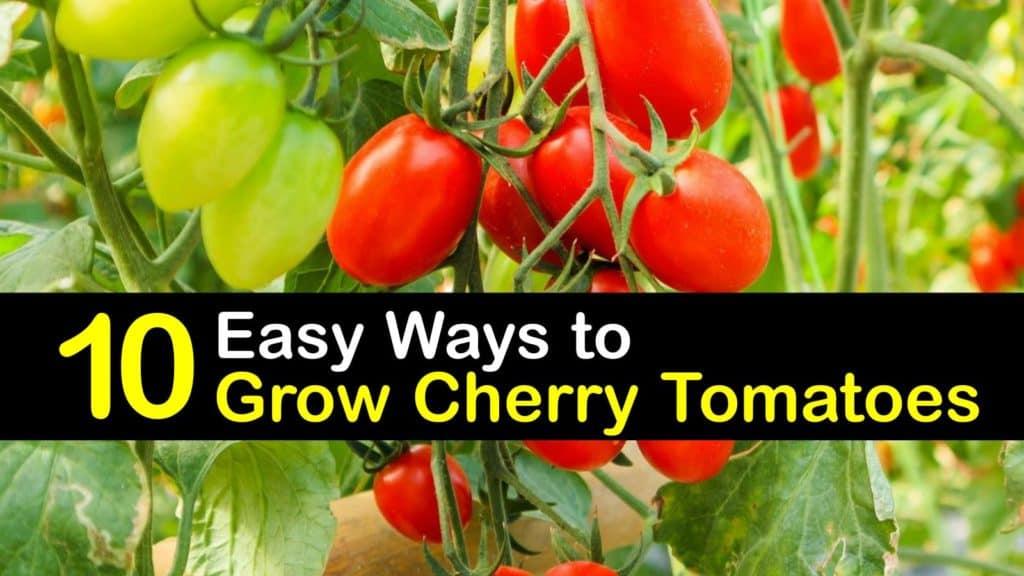 How to Grow Cherry Tomatoes titleimg1