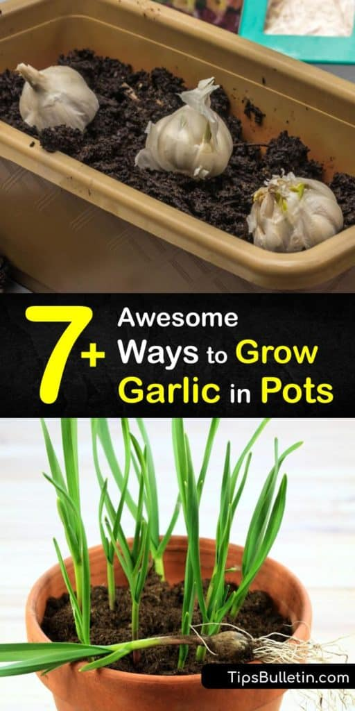 Discover the best tips and tricks for planting garlic in pots. Homegrown garlic is much tastier than what you buy at the grocery store. From planting garlic to when it's time to harvest garlic, here's everything you need to know for DIY container gardening. #howto #grow #garlic #pots