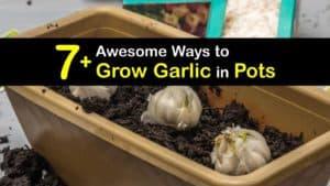 How to Grow Garlic in Pots titleimg1