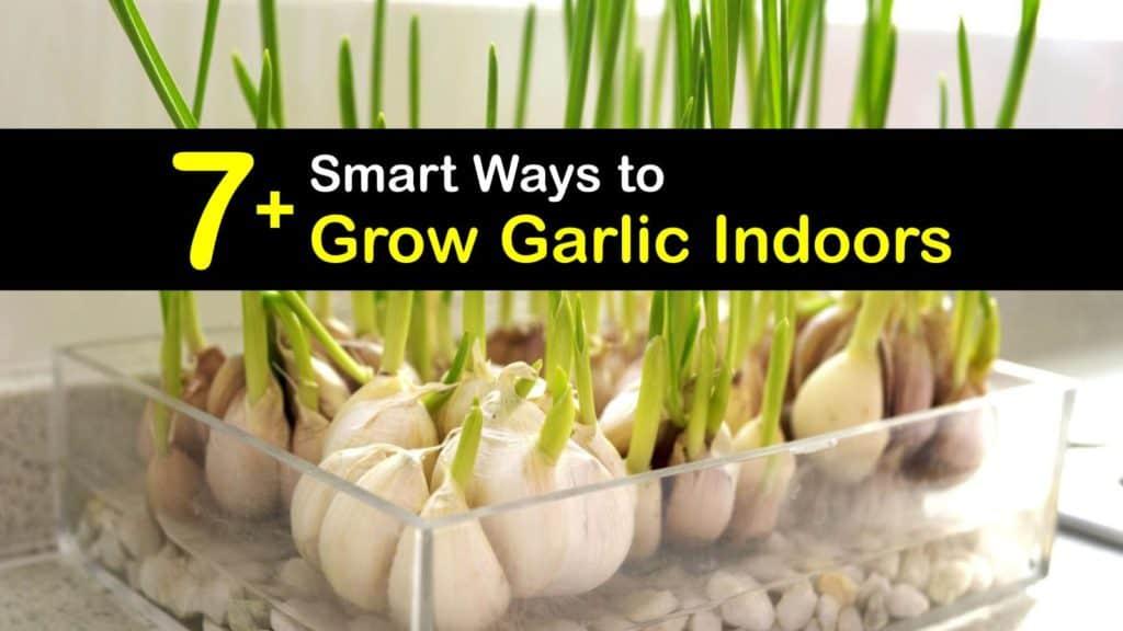 How to Grow Garlic Indoors titleimg1