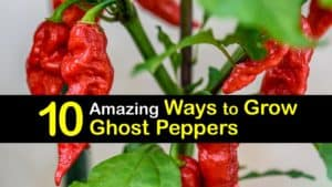 How to Grow Ghost Peppers titleimg1