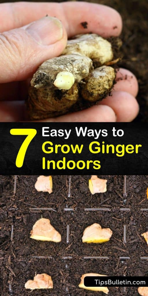 Run to the grocery store and grab some fresh ginger to start learning everything there is to know about growing your own ginger as a houseplant. This guide features tips on sprouting the root with warm water, types of potting soil, and how to replant them into the right pots. #grow #ginger #indoors