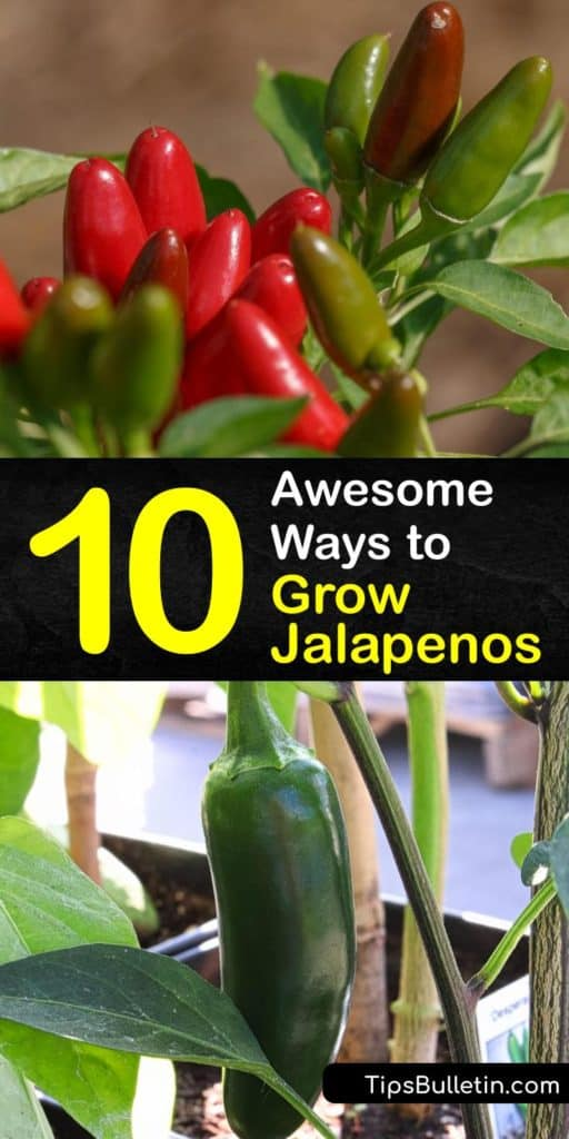Just because a jalapeno pepper plant with 8,000 units on the Scoville scale originates in Mexico, doesn't mean growing jalapenos is impossible in other areas. Capsicum plants like habanero or bell peppers have easy germination processes when you avoid aphids. #howto #grow #jalapeno #peppers