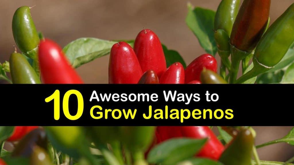 How to Grow Jalapenos titleimg1