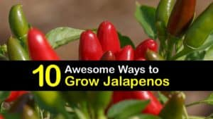 How to Grow Jalapenos titleimg1
