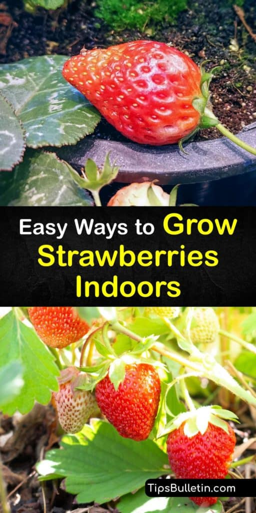 Learn how to grow strawberries with simple DIY methods. Day-Neutral and Alpine strawberries planted in hanging baskets with organic fertilizer thrive under a grow light. A strawberry's growing season extends from June-bearing to all year round with these methods. #howto #grow #strawberries #indoors