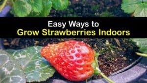 How to Grow Strawberries Indoors titleimg1