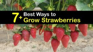 How to Grow Strawberries titleimg1