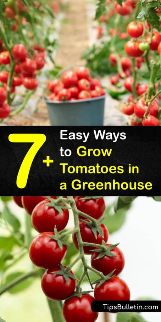 Discover how to plant and care for cordon greenhouse tomatoes at home. Learn how to choose tomato varieties, promote good air circulation, prune, carry out pollination, and more. Prevent blossom-end rot by increasing calcium levels in the soil. #grow #tomatoes #greenhouse