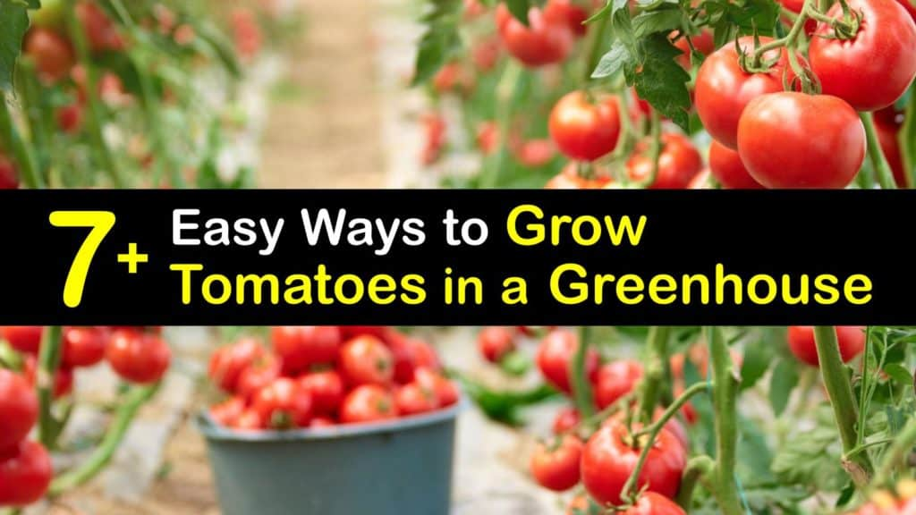 How to Grow Tomatoes in a Greenhouse titleimg1