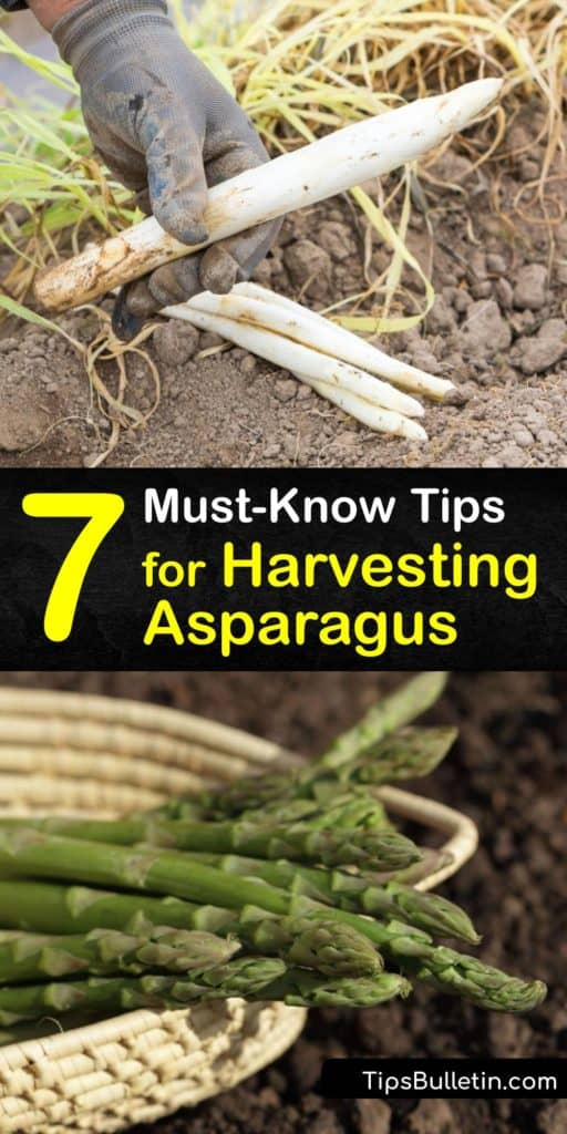 Take your gardening knowledge up a notch with these informative tips to harvest asparagus. Learn about the growing season of female plants, the extensive root system, benefits of mulch, and how to cut the spears at ground level during the third year in the early spring. ##harvest #asparagus