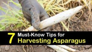 How to Harvest Asparagus titleimg1