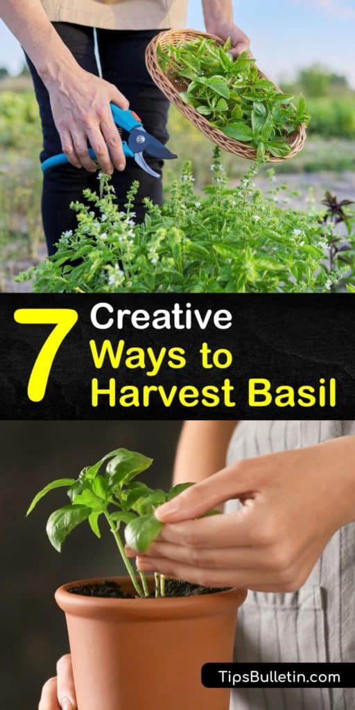 Fresh basil thrives in direct sunlight so the flower buds can grow. Harvesting basil is easy and only requires a sharp pair of scissors. After you harvest-basil, a great DIY way to preserve them is freezing in ice cube trays with olive oil. #howto #harvest #basil