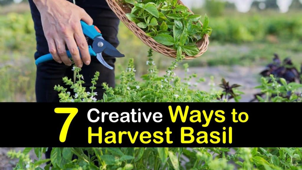 How to Harvest Basil titleimg1