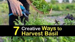 How to Harvest Basil titleimg1