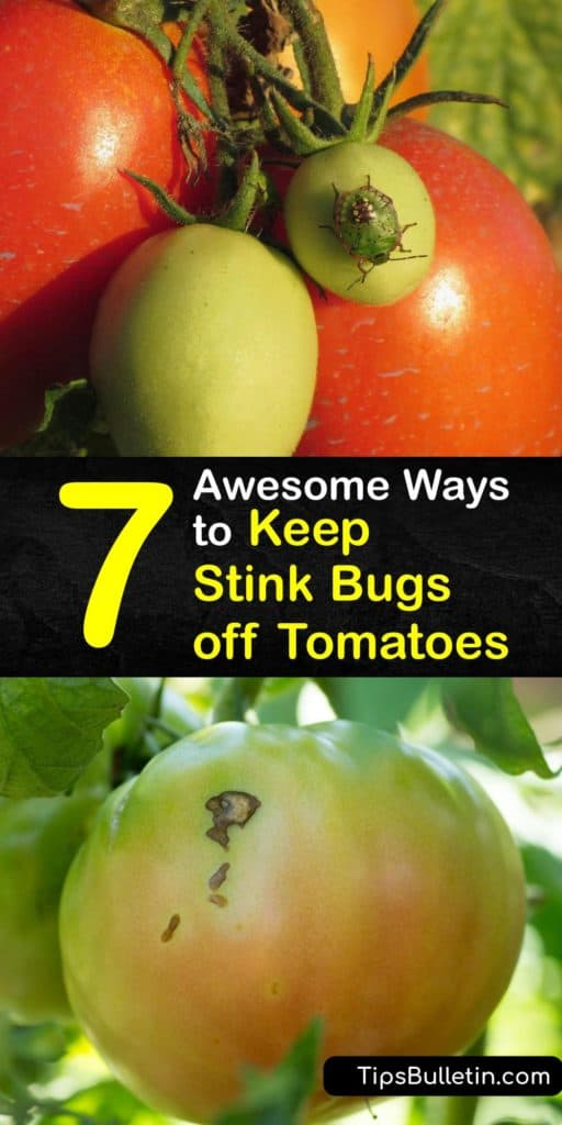 An infestation of the brown marmorated stink bug, which isn't native to North America, can wreak havoc on your tomato crop. Use soapy water, neem oil, kaolin, or a pheromone trap to protect your precious tomatoes against pests like stink bugs. #howto #repel #stink #bugs #tomatoes
