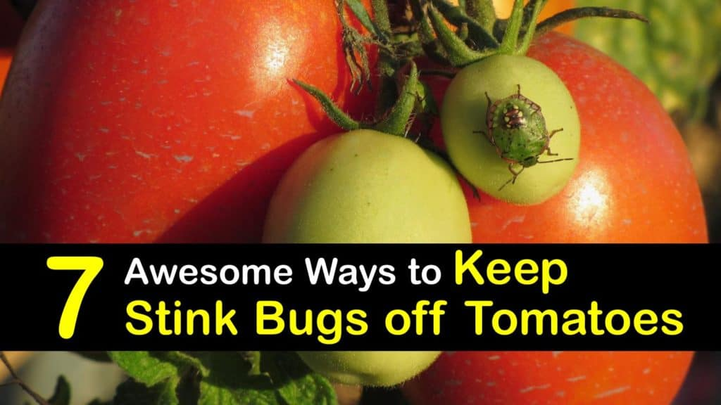 How to Keep Stink Bugs off Tomatoes titleimg1