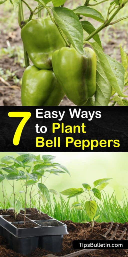 Discover how to grow your own peppers at home. There are many pepper varieties, including hot peppers and sweet peppers, and growing bell pepper plants is one of the easiest as long as they have full sun and you fertilize and water them when needed. #howto #planting #bell #peppers
