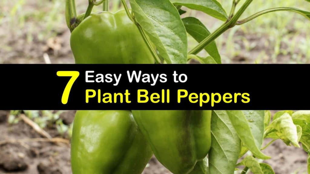 How to Plant Bell Peppers titleimg1