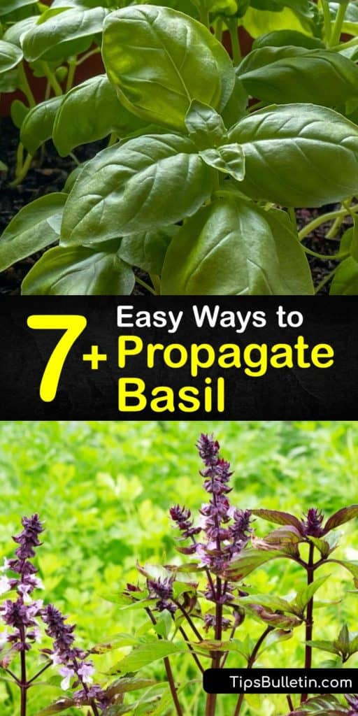 Learn how to grow fresh basil year-round from basil cuttings or new plants from the grocery store. For basil propagation, all you need is a glass of water and a sunny windowsill. Make all the pesto, soup, and pasta you love with homegrown basil. #howto #propagate #basil